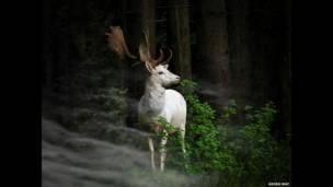 Beyaz alageyik. Georg May
