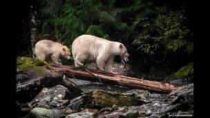 British Columbia'da ayılar. Kyle Breckenridge