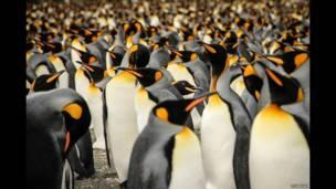 Kral penguen kolonisi. Lisa Vaz
