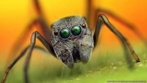 Araña imitadora de hormiga