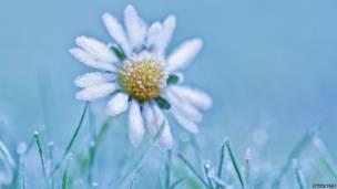 डेसी का फूल