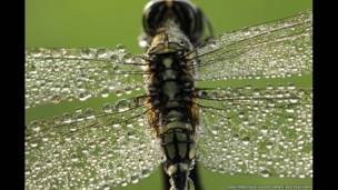 Gotas de orvalho enfeitam libélula em foto de Adhi Prayoga.