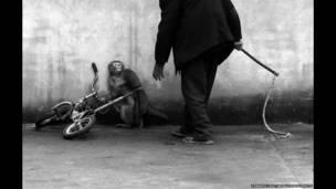 योंगझी चू की तस्वीर, चीन में प्रशिक्षण ले रहा बंदर