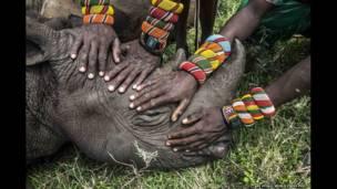 केन्या के सांबुरु योद्धा गैंडा पकड़ते हुए