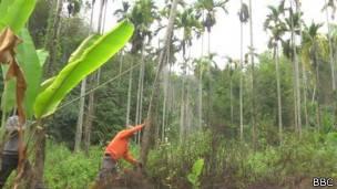 Plantación de betel