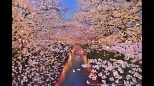 تفتح زهور الكرز في اليابان