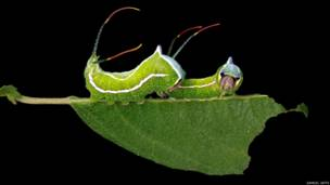 Cerura scitisripta, фото Сэмюэля Джаффе