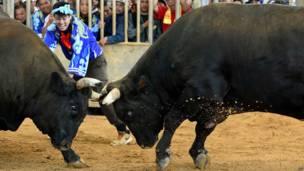 Японский бой быков