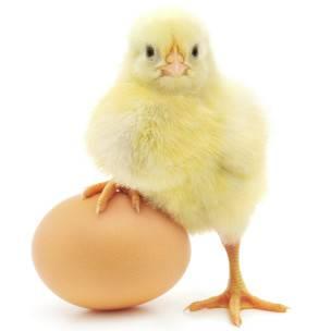 Un pollito apoya la pata en un huevo