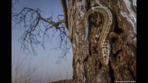 Ağacda kərtənkələ. William Harvey