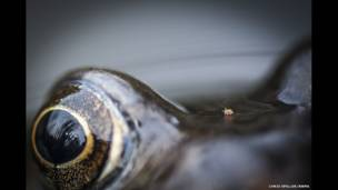 Qurbağanın gözləri arasında gənə. Chris Speller