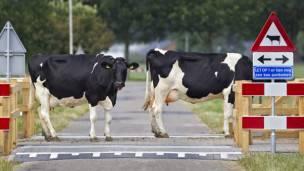 vacas en holanda