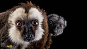 व्हाइट फ्रंटेड बंदर, नैपलेस चिड़ियाघर, जोएल सैरटोर
