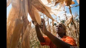 حصاد الذرة لفريدة، للمصور هايلي توكر.