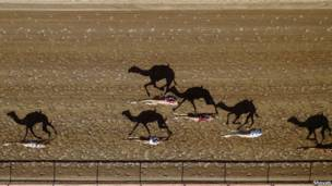 Верблюжьи бега, Дубай. Фотограф: Шояб