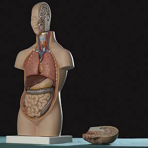 Podemos vivir relativamente bien hasta sin parte de algunos órganos vitales.