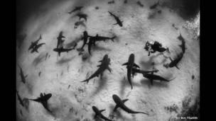 قروش الشعب المرجانية الكاريبية