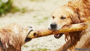 Perros jugando con palo