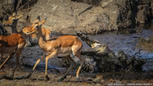 Crocodilo e Impala no Kruger National Park, África do Sul. John Mullineux / CATERS NEWS AGENCY