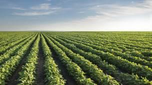 Los cultivos están cada vez más afectados, advierte Loladze.