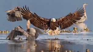 Imagen de un águila cabeza blanca.