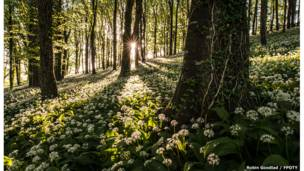 The wild garlic carpet - by Robin Goodlad (UK)  / FPOTY