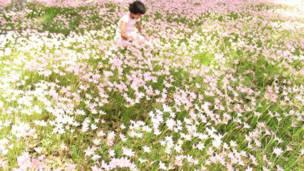 देहरादून में बारिश के दिनों में लिली के फूल.