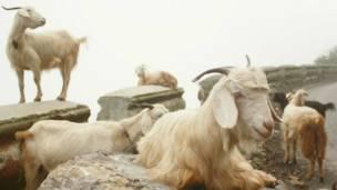 धूप सेकती बकरियां.