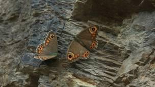 पत्थर पर आराम कर रही है तितलियां.