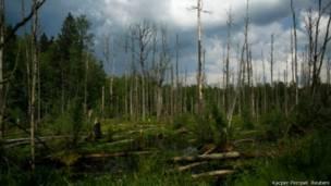बैलोवीज़ा जंगल, पोलैंड