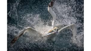 طائرا الأطيش يتصارعان من أجل الظفر بسمك ماكريل