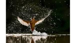 طائر الرفراف يلتقط سمكة من الماء