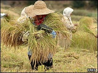 برداشت برنج در شمال ایران