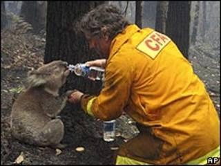 Coala bebe água de garrafa oferecida por bombeiro australiano