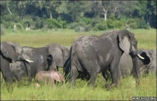 Elefante rosa em Botsuana (foto: Mike Holding)