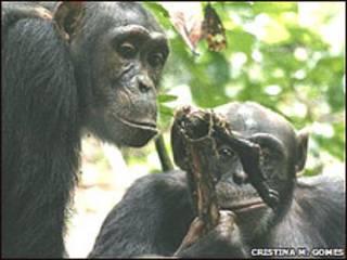 Chimpanzés compartilham alimentos (Foto: Cortesia de Cristina M. Gomes)
