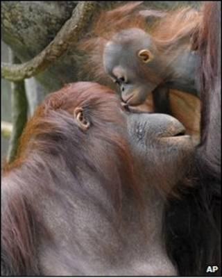Foto de orangotango em um zôológico americano