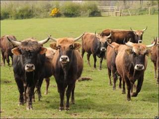 Vacas y toros Heck