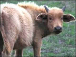 Búfalo albino de Hellsgate