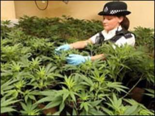 Cảnh sát Anh trong vườn cần sa họ phát hiện được