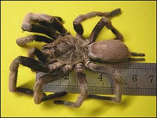 Tarântula (Foto: Cortesia de Amalgamated Pest Controller Ltd)