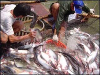 Nông dân nuôi cá basa ở Việt Nam
