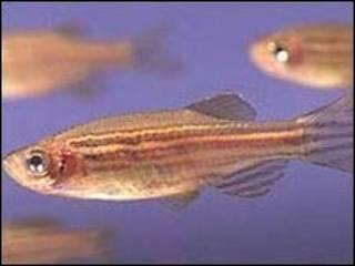 گورخر ماهی