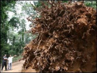 Troncos de árvores em florestas africanas
