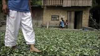 Cultivos de coca en Perú.
