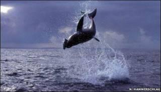 Tiburón cazando foca