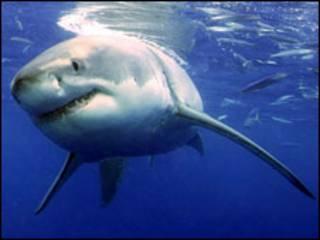 Tubarão branco (arquivo)