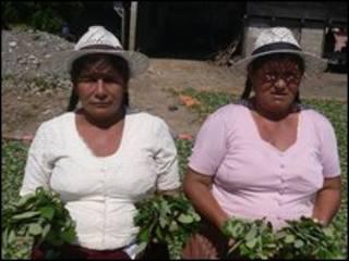 Cultivadoras de coca.