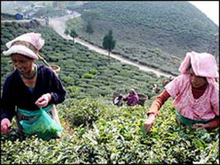 चाय बाग़ान