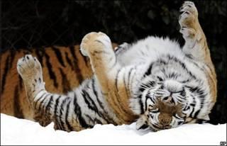 साइबेरियाई बाघ